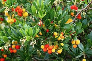 Autumn fruit, flowers, and foliage of Strawberry Tree