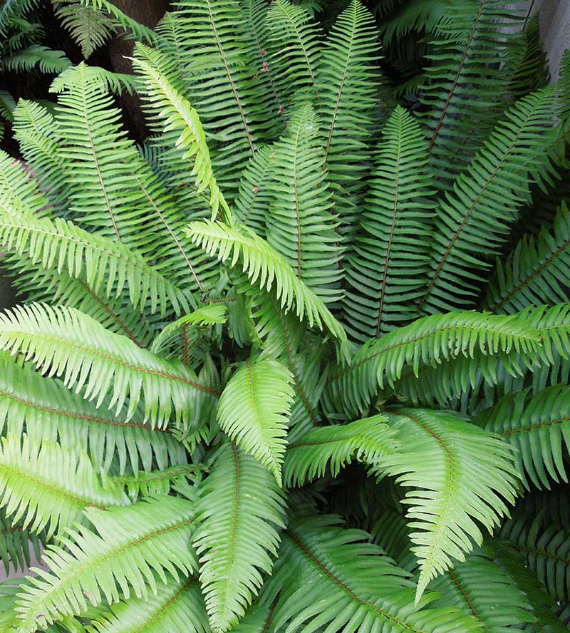 Our handsome and adaptable native Sword Fern (Polystichum munitum) looks best if the old fronds are removed in March so its newly emerging fronds can be appreciated, but other than that it is maintenance free.