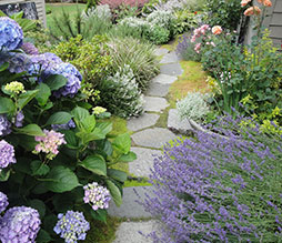 A side yard stepping stone pathway  features favorite roses and hydrangeas at the new Kirkland residence.