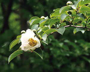 Summer flowers, flower buds, and foliage of Japanese Stewartia
