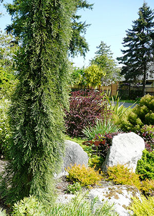 Form, color, and texture of Weeping Sequoia on left balances other plantings