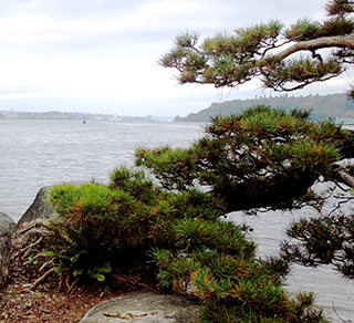 Pine on shore's edge enhances view from Bremerton's Elandan Gardens