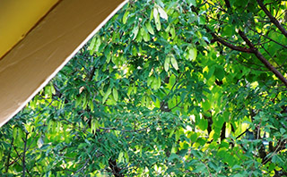 Intimate view into canopy of Paperbark Maple creates year-round interest, as well as visual screen