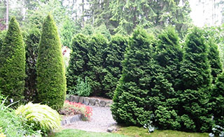 Linear rows of vertical conifers at Heronswood, a botanical garden in Kingston, WA, provide effective screening as well as bold design elements