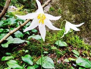 Restored woodlands at BBG features treasures large and small, including this Oregon fawn lily.