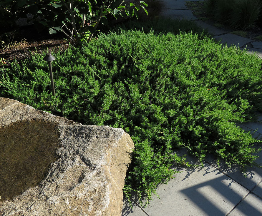 Evergreen groundcover; conifer; tolerates coastal conditions