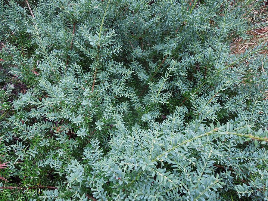 Evergreen groundcover; blue needle-like foliage